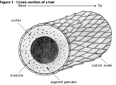 hair-cross-section